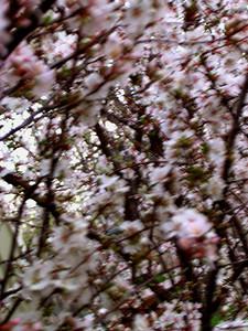 cherry blossom 63