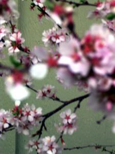 cherry blossom 52