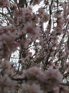 cherry blossom 60
