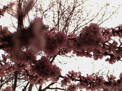 cherry blossom 58