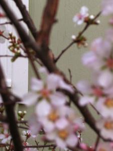 cherry blossom 64