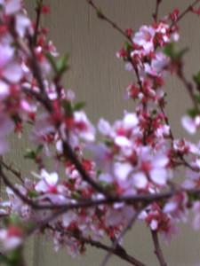 cherry blossom 51