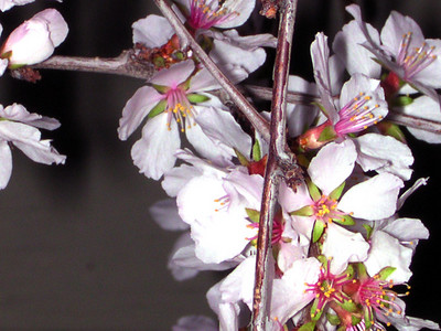 cherry blossom 97