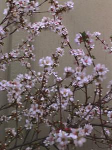 cherry blossom 66