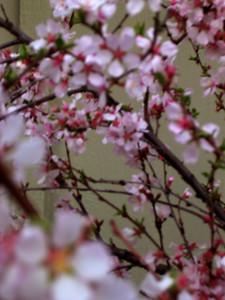 cherry blossom 55