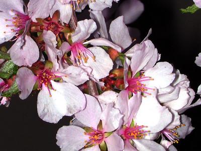 cherry blossom 95