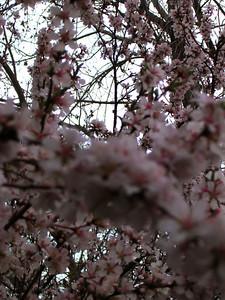 cherry blossom 61