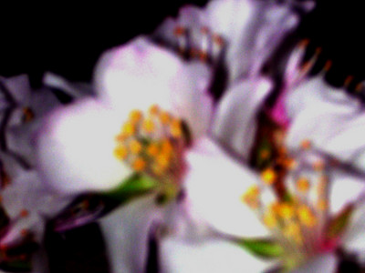 cherry blossom 82
