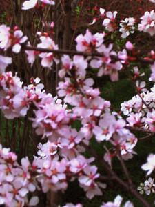 cherry blossom 46