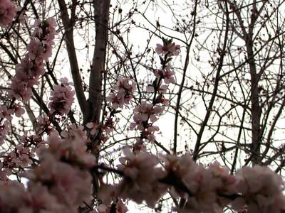 cherry blossom 59