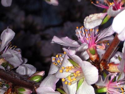 cherry blossom 88