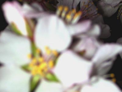 cherry blossom 89