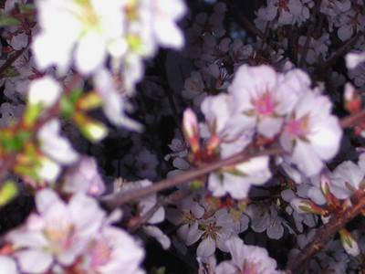 cherry blossom 84