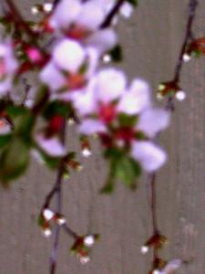 cherry blossom 78