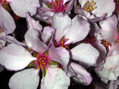 cherry blossom 91