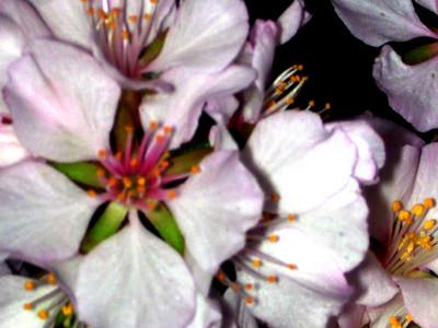 cherry blossom 81