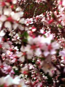 cherry blossom 45