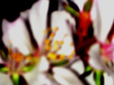 cherry blossom 85