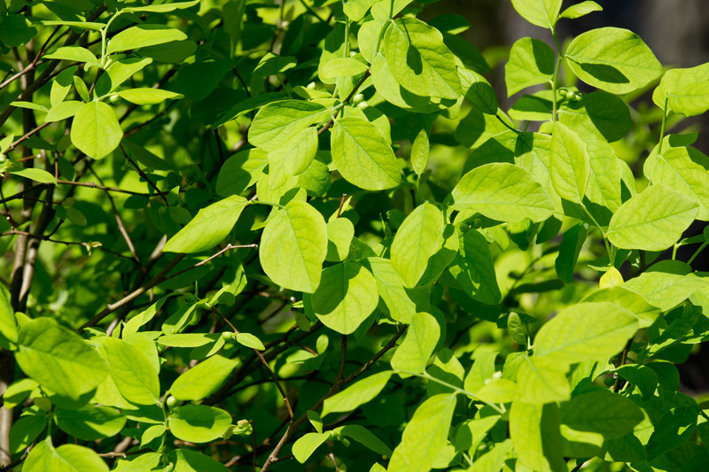 Dirca palustris, Eastern Leatherwood
