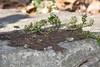Pleopeltis polypodioides, Resurrection Fern