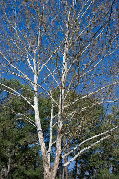 Platanus occidentalis, American Sycamore