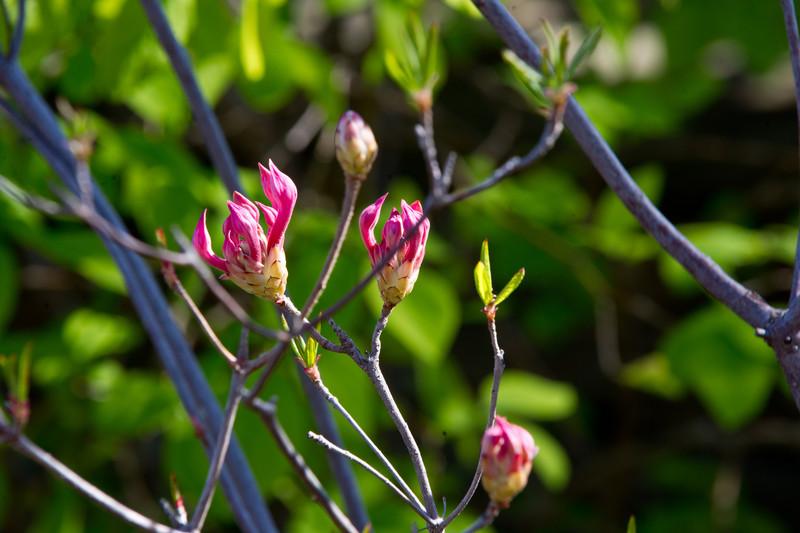Rhododendron canescens, Piedmont Azalea