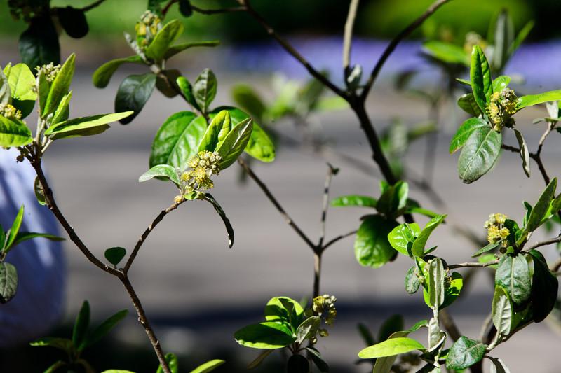 Croton alabamensis