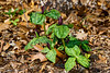 Trillium cuneatum, Toadshade, Wake Robin, Sweet Betsy