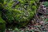 Walking Fern  Asplenium rhizophyllum