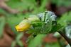 Celandine Poppy<br /> Stylophorum diphyllum<br /> Poppy family (Papaveraceae)