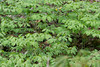 Virginia Bluebells<br /> Mertensia virginica<br /> Borage family (Boraginaceae)