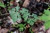 Dutchman's Breeches<br /> Dicentra cucullaria<br /> Fumitory family (Fumariaceae)