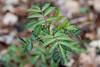 Common Elderberry<br /> Sambucus canadensis<br /> Elderberry family (Caprifoliaceae)