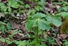 White Trillium<br /> Trillium flexipes<br /> Lily family (Liliaceae)