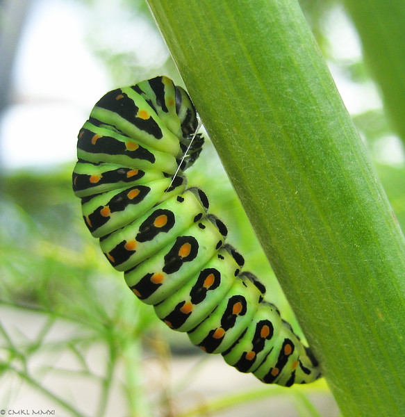 Early stages of pupation.