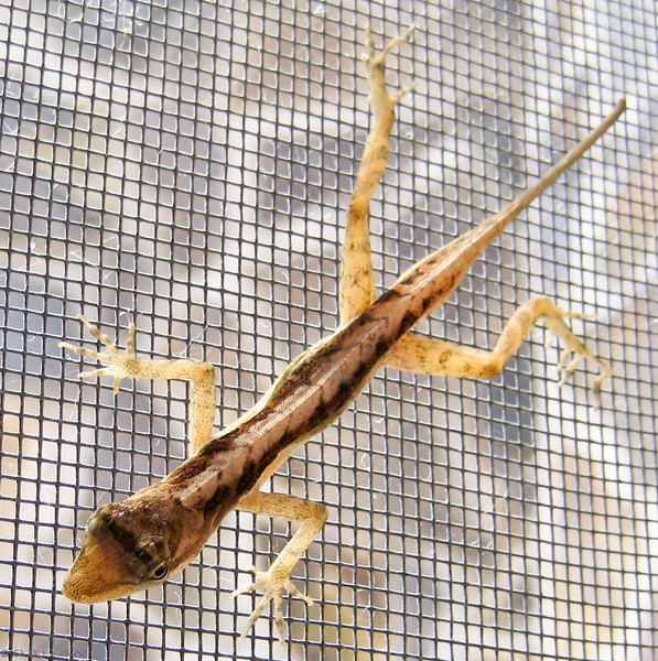 A tiny lizard was stuck inside a screen door. I picked it up with a microfiber cloth ...