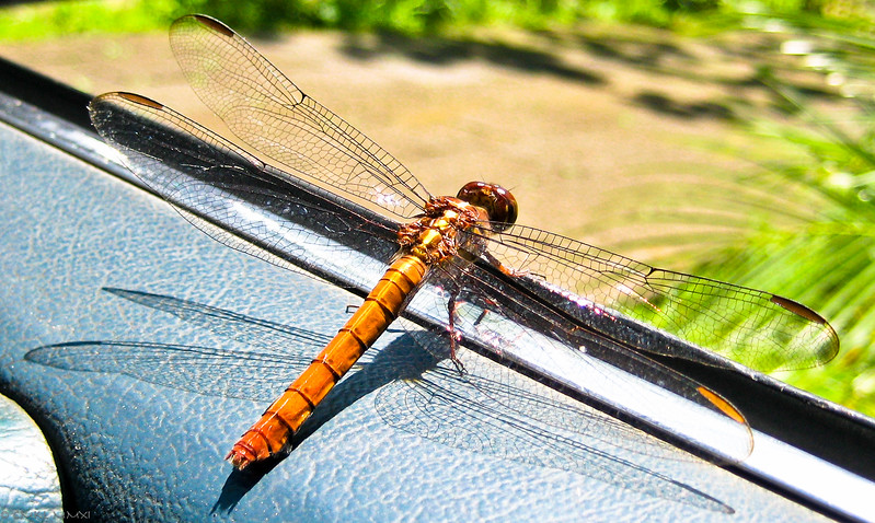Dragonfly in car window, possibly<br /> Orthemis aequilibris, Calvert 1909, Libellulidae, male; Anisoptera - ODONATA