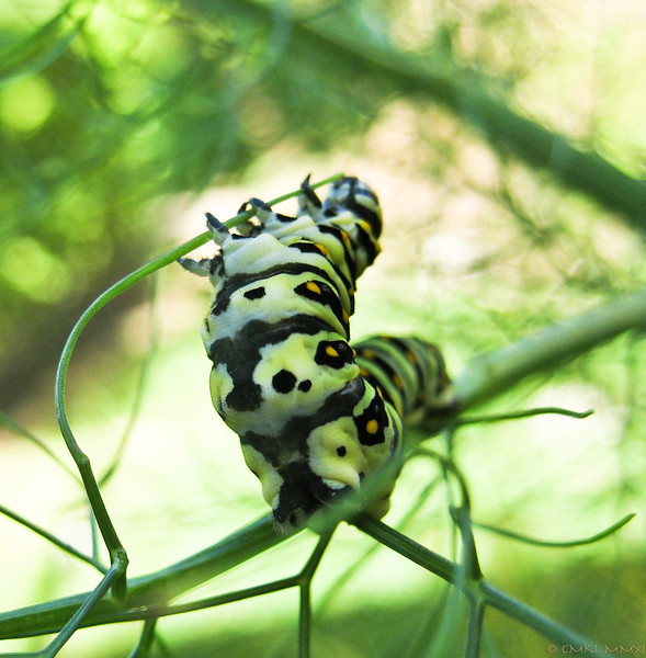 The fennel patch is overrun by dozens of eager munchers of different ages. Quite the butterfly nursery!!