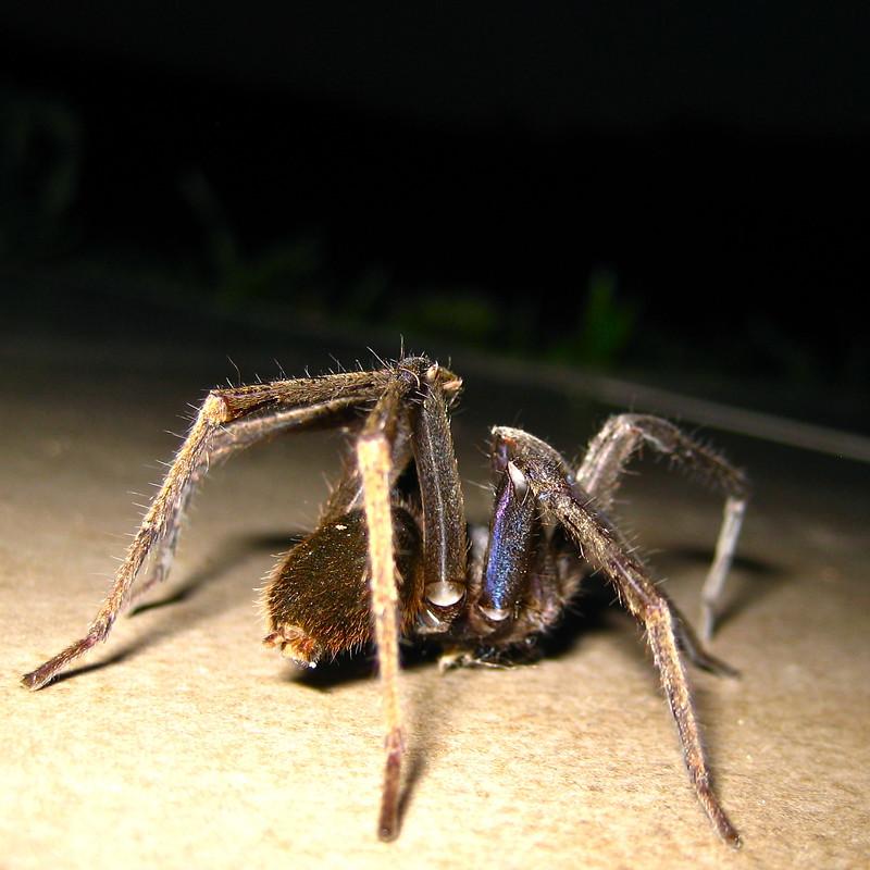 Very large spider, practically tarantula size