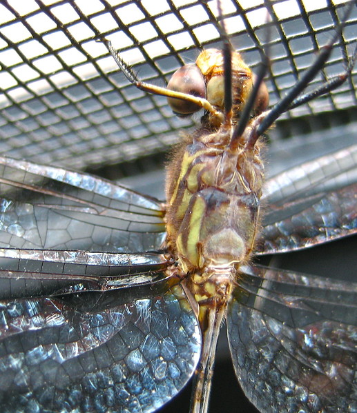 Detail Dragonfly <br /> Ventral view
