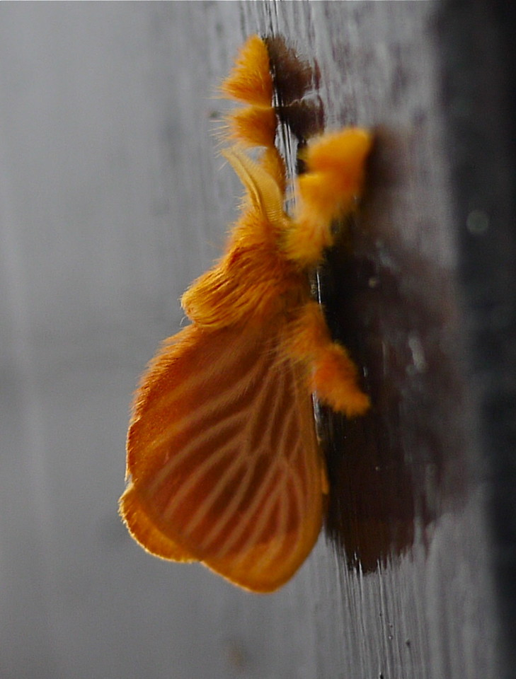 My darling orange moth,<br /> Acraga coa, Schaus 1895, Dalceridae