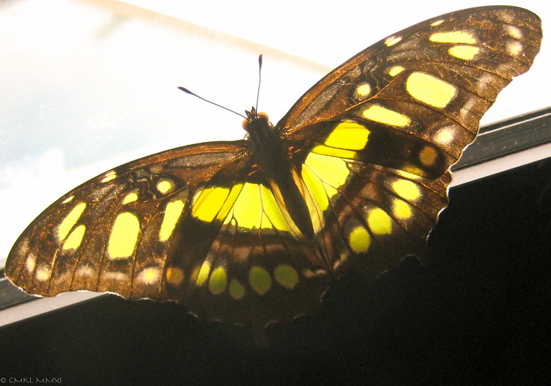 This dorsal view should show the yellow-green markings against a black background. Since this picture was taken at a very bright window, the black is bleached to a brown tone.