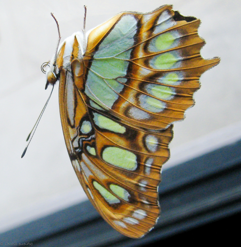 The ventral wing surfaces show softer, turquoise-green spots in an olive-khaki background.