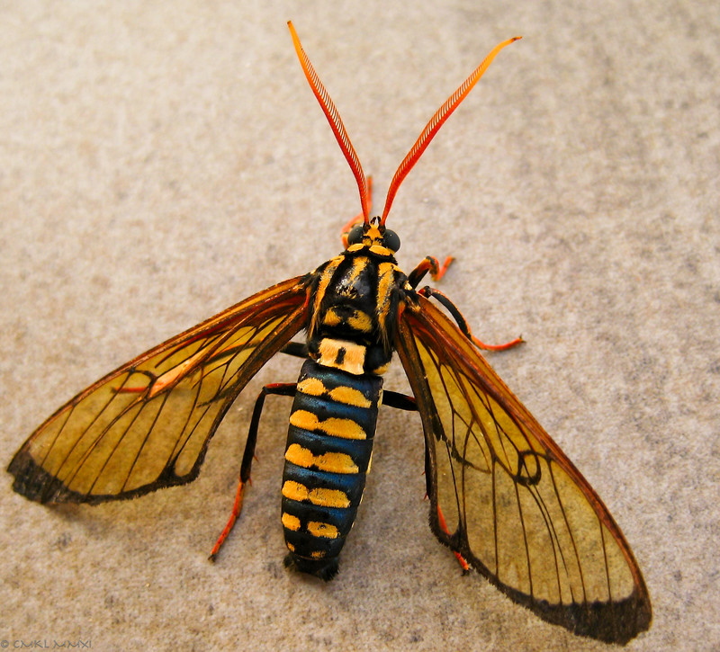 Meet Isanthrene crabroniformis<br /> the wasp-mimicking tiger moth in the lepidoptera family of Arctiidae. A moth!! Not a wasp, as I thought at first. Isn't it amazing?