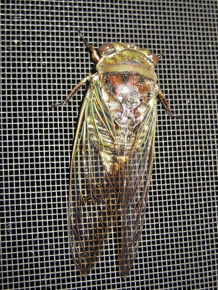 Cicada<br /> Dorsal view