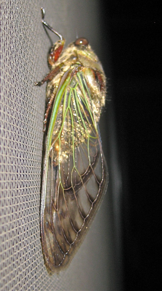 HEMIPTERA<br /> Cicada of unknown species in the Cicadidae family. Most likely of the Tibiceninae subfamily, as an expert entomologist told me. But that's as far as he would go! <br /> Lateral view