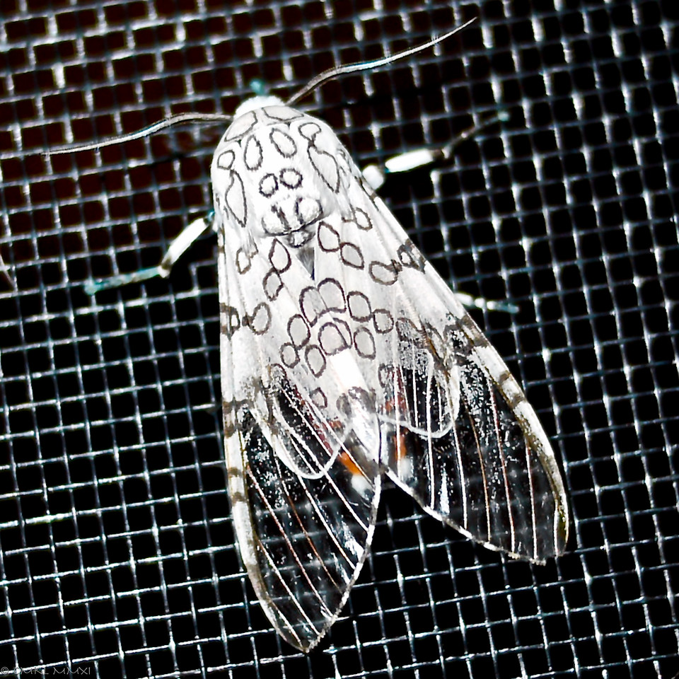 Animalia - Arthropoda - Insecta - Lepidoptera - Arctiidae - Arctiinae - Hypercombe<br /> Species: Hypercompe caudata (Walker, 1855)