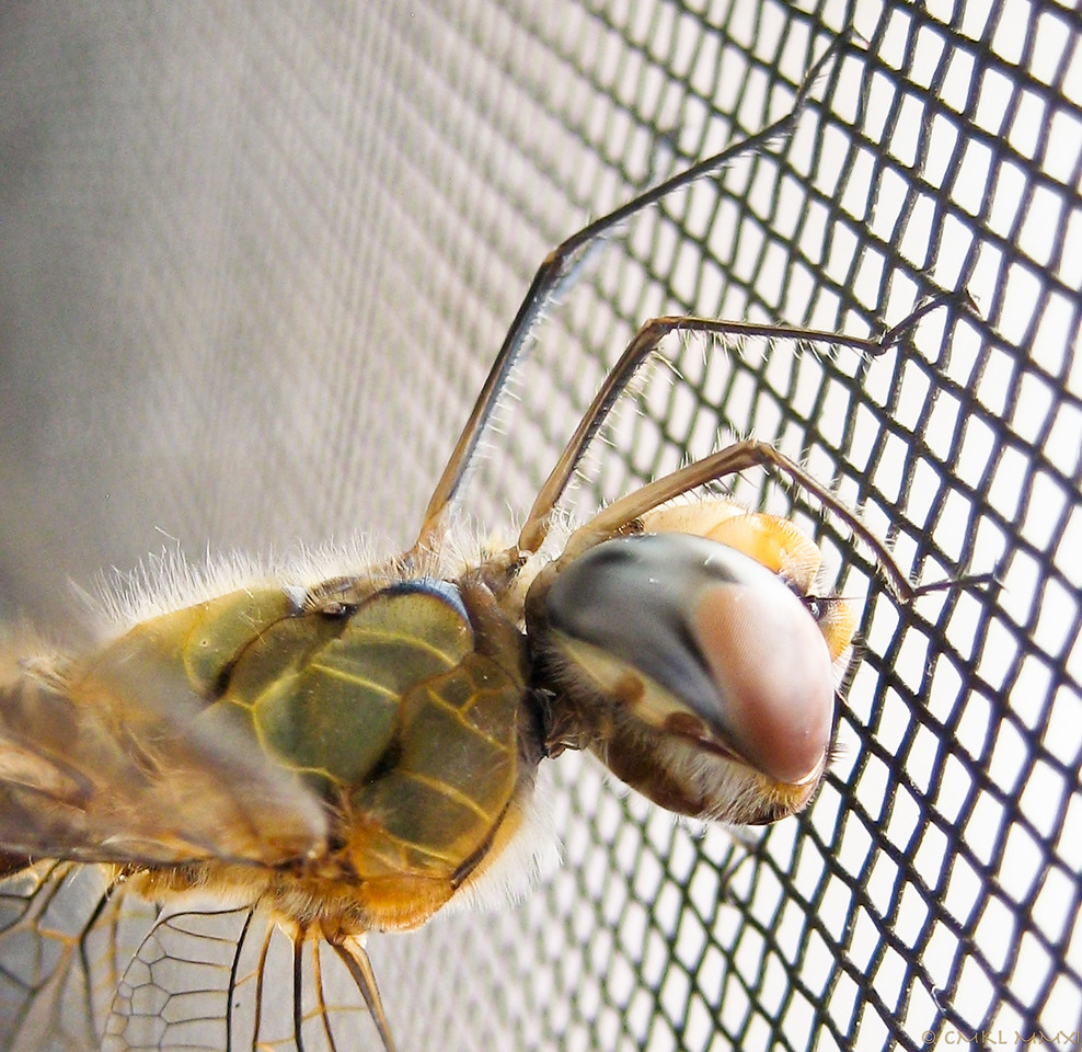 Lateral thorax & head with huge compound eye.