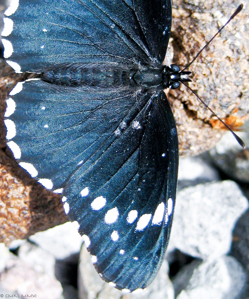 The dorsal wing surfaces and abdomen had a beautiful, metallic blue sheen