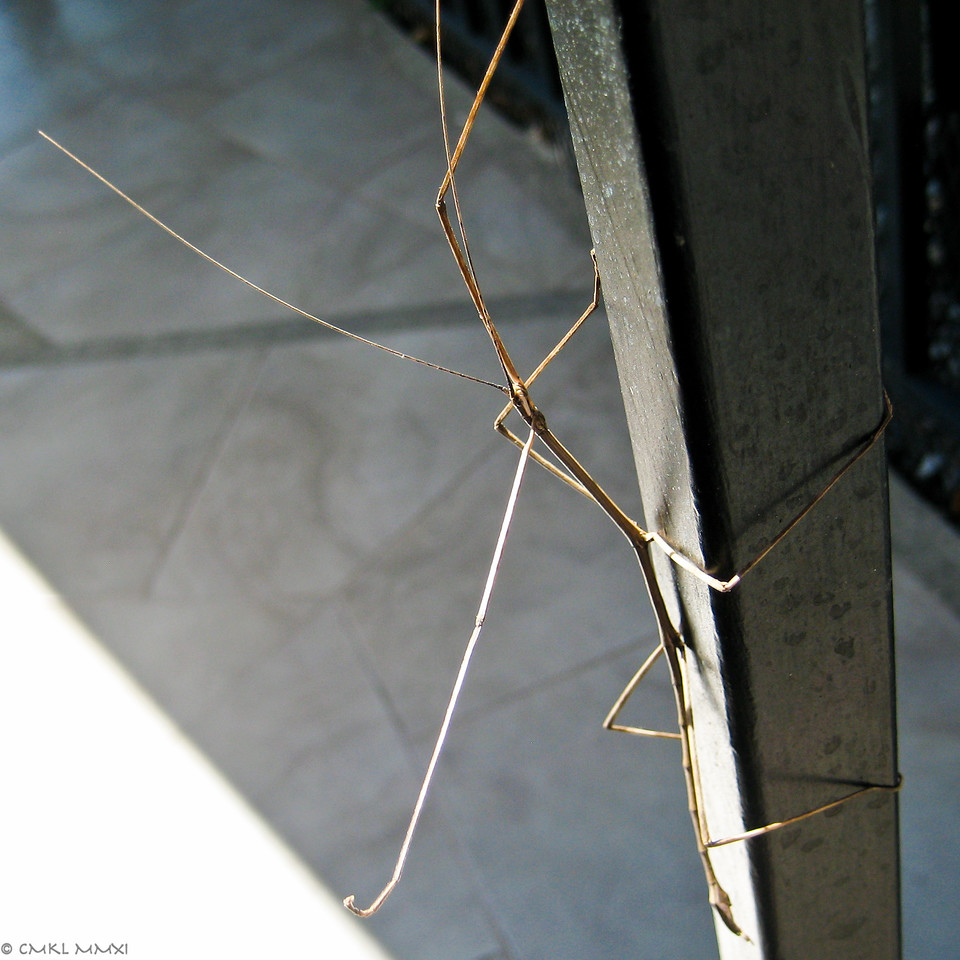 A Stick is a Stick is a stick - in this case a stick in the insect order of Phasmatodea, a member of one of these families: Phasmatidae, Diaphasmatidae or Pseudophasmatidae